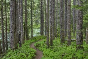 USA, Washington State, Gifford Pinchot National Forest. Trail and forest. by Jaynes Gallery