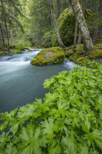 USA, Washington State, Olympic National Forest. Royal Creek and coltsfoot plants. by Jaynes Gallery