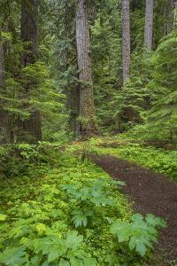 USA, Washington State, Olympic National Forest. Scenic with forest trail. by Jaynes Gallery
