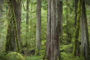 USA, Washington State, Olympic National Park. Abstract of old growth forest. by Jaynes Gallery