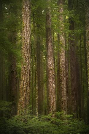 USA, Washington State, Olympic National Park. Western hemlock tree forest.