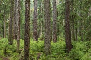 USA, Washington State, Olympic NP. Forest scenic. by Jaynes Gallery
