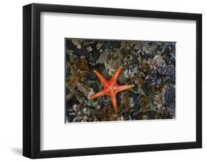 USA, Washington State, Salt Creek Recreation Area. Blood star on beach. by Jaynes Gallery