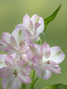 USA, Washington State, Seabeck. Alstroemeria blossoms close-up. by Jaynes Gallery