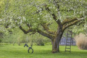 USA, Washington State, Seabeck. Apple tree with tire swing and ladder. by Jaynes Gallery