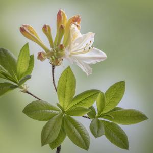 USA, Washington State, Seabeck. Azalea blossom close-up. by Jaynes Gallery