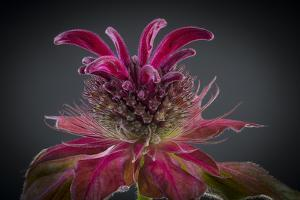 USA, Washington State, Seabeck. Bee balm flower close-up. by Jaynes Gallery