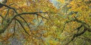 USA, Washington State, Seabeck. Bigleaf maple trees panoramic composite. by Jaynes Gallery