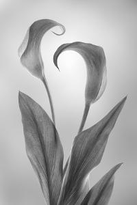 USA, Washington State, Seabeck. Black and white of calla lily. by Jaynes Gallery