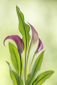 USA, Washington State, Seabeck. Calla lily close-up. by Jaynes Gallery