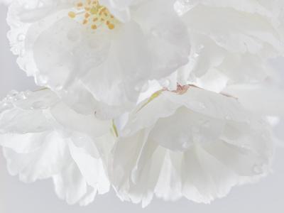 USA, Washington State, Seabeck. Cherry blossoms close-up.