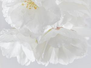USA, Washington State, Seabeck. Cherry blossoms close-up. by Jaynes Gallery