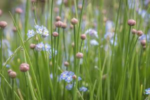USA, Washington State, Seabeck. Chive buds and forget-me-not flowers. by Jaynes Gallery