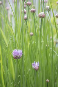 USA, Washington State, Seabeck. Chive buds blossoming. by Jaynes Gallery