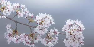 USA, Washington State, Seabeck. Close-up of cherry blossoms on limb. by Jaynes Gallery