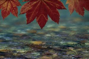 USA, Washington State, Seabeck. Composite of vine maple over river. by Jaynes Gallery