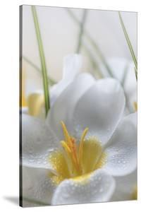 USA, Washington State, Seabeck. Crocus blooms close-up. by Jaynes Gallery