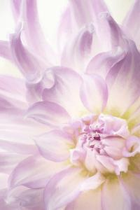 USA, Washington State, Seabeck. Dahlia blossom close-up. by Jaynes Gallery