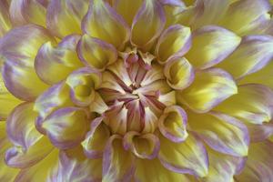 USA, Washington State, Seabeck. Dahlia blossom close-up. by Jaynes Gallery