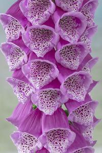 USA, Washington State, Seabeck. Foxglove blossoms close-up. by Jaynes Gallery