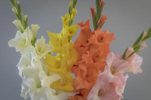 USA, Washington State, Seabeck. Gladiola flowers and stems. by Jaynes Gallery
