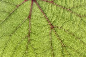 USA, Washington State, Seabeck. Grape leaf close-up. by Jaynes Gallery