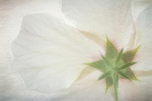 USA, Washington State, Seabeck. Hibiscus blossom close-up. by Jaynes Gallery