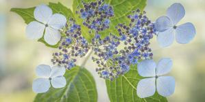 USA, Washington State, Seabeck. Lacecap hydrangea flowers. by Jaynes Gallery