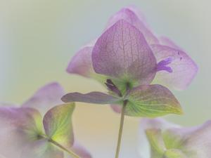 USA, Washington State, Seabeck. Ornamental oregano flower close-up. by Jaynes Gallery