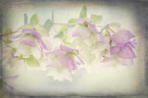 USA, Washington State, Seabeck. Ornamental oregano flowers. by Jaynes Gallery