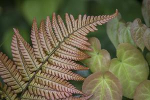 USA, Washington State, Seabeck. Painted fern and epimedium leaves. by Jaynes Gallery