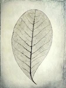 USA, Washington State, Seabeck. Skeletonized leaf close-up. by Jaynes Gallery