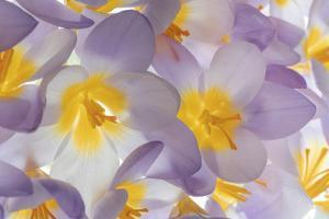 USA, Washington State, Seabeck. Spring crocus flowers close-up. by Jaynes Gallery