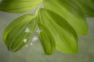 USA, Washington State, Seabeck. Starry Solomon's seal plant and flower. by Jaynes Gallery