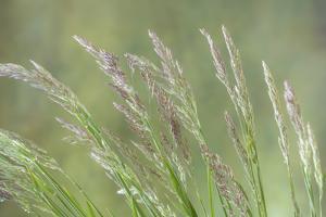 USA, Washington State, Seabeck. Velvet grass close-up. by Jaynes Gallery