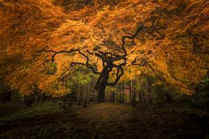 USA, Washington State, Seattle. Japanese maple in Kubota Gardens Park. by Jaynes Gallery