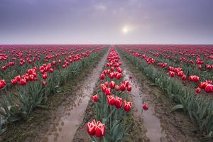 USA, Washington State, Skagit Valley. Rows of red tulips and sky. by Jaynes Gallery