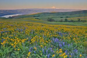 USA, Washington State. Wildflowers bloom in Columbia Hills State Park. by Jaynes Gallery
