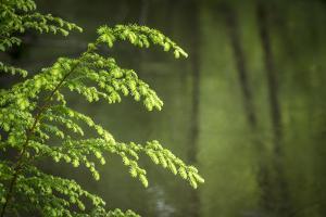 USA, Washington State, Willapa National Wildlife Refuge. Western hemlock sapling and stream. by Jaynes Gallery