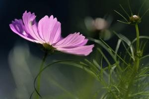 USA, Wilmington, Delaware. Close-Up of Cosmos Flower and Bud by Jaynes Gallery