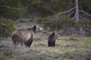 USA, Wyoming, Grand Teton NP. Sow grizzly with cub. by Jaynes Gallery