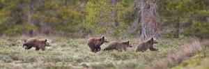 USA, Wyoming, Grand Teton NP. Yearling grizzly bears running to catch up with sow bear. by Jaynes Gallery