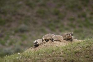 USA, Wyoming, Yellowstone NP. Badger kits and mother outside den. by Jaynes Gallery