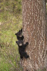 USA, Wyoming, Yellowstone NP. Black bear cubs climb pine tree. by Jaynes Gallery