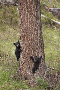USA, Wyoming, Yellowstone NP. Two black bear cubs climb pine tree. by Jaynes Gallery