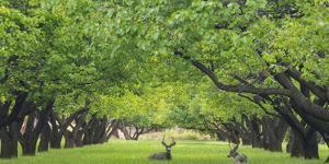 Utah, Capitol Reef National Park. Deer in Sylvan Orchard by Jaynes Gallery