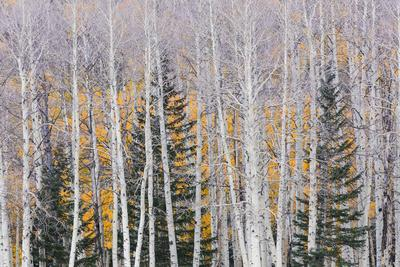 Utah, Fishlake National Forest. Aspen and Conifer Trees