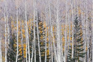 Utah, Fishlake National Forest. Aspen and Conifer Trees by Jaynes Gallery