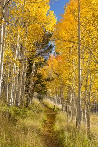Utah, Fishlake National Forest. Trail in Aspen Trees by Jaynes Gallery