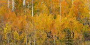 Utah, Manti-La Sal National Forest. Autumn Forest Landscape by Jaynes Gallery